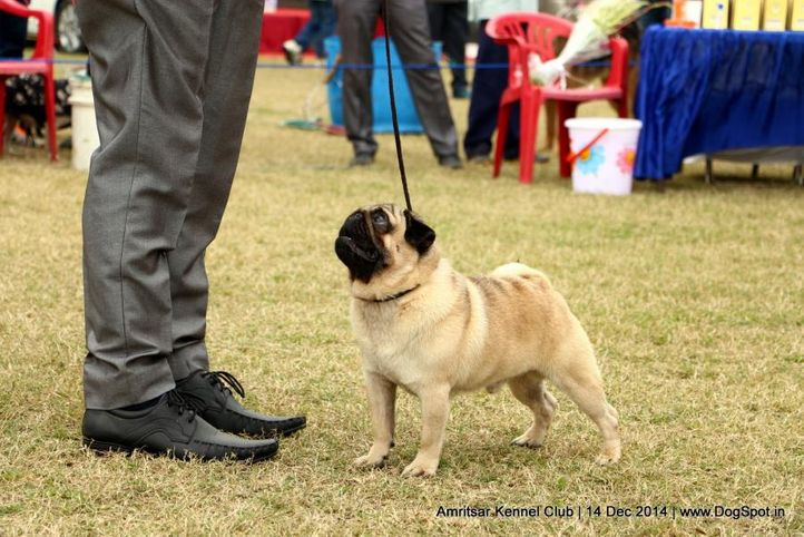 ex-13,pug,sw-136,, JAMES BOND, Pug, DogSpot.in