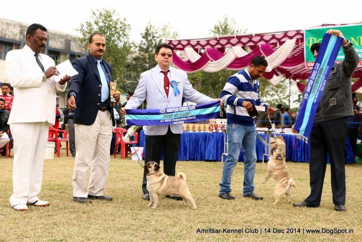 bob,pug,sw-136,, Amritsar Kennel Club, DogSpot.in
