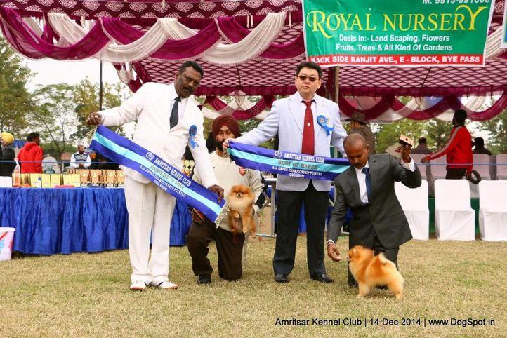 bob,pom,pomeranian,sw-136,, Amritsar Kennel Club, DogSpot.in