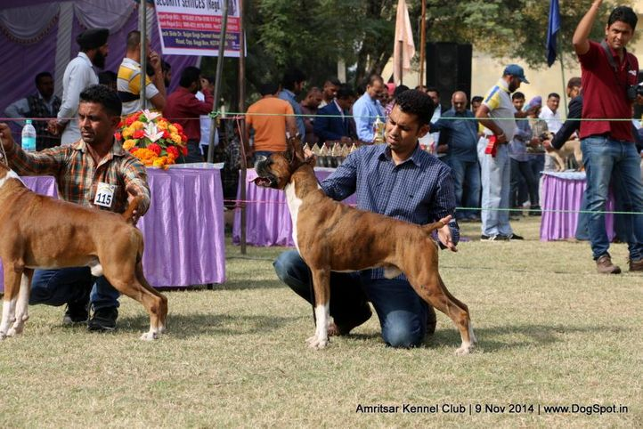 boxer,sw-135, Amritsar Kennel Club, DogSpot.in