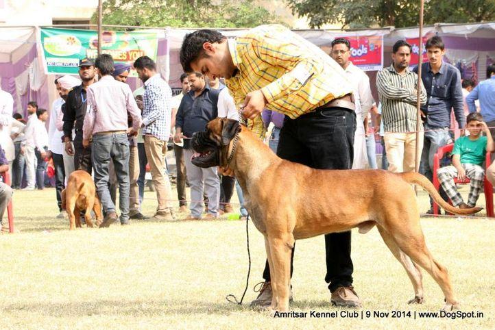 bullmastiff,sw-135,, Amritsar Kennel Club, DogSpot.in
