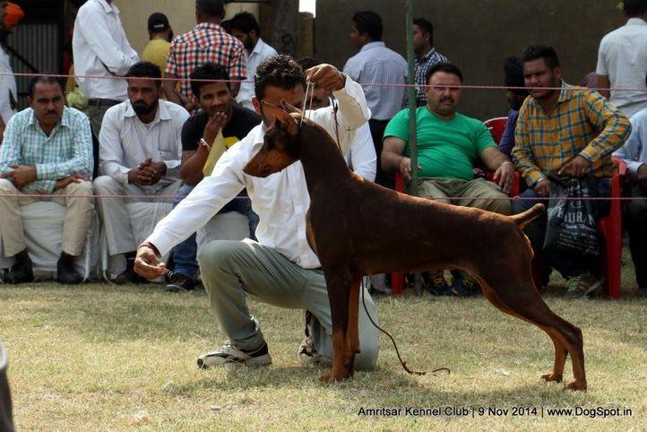 doberman pinscher,sw-135,, Amritsar Kennel Club, DogSpot.in