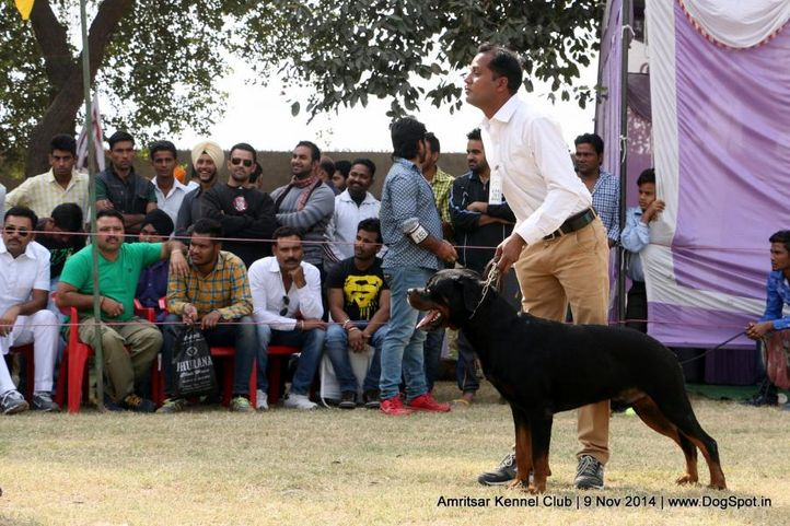 ex-163,rottweiler,sw-135,, TONY FLASH ROUSE, Rottweiler, DogSpot.in