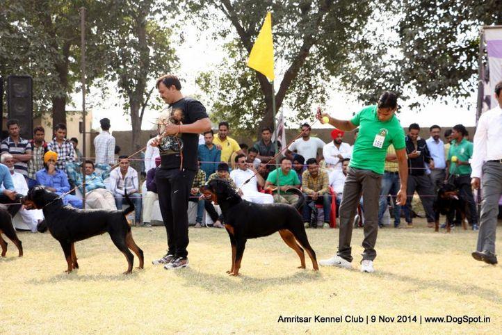 rottweiler,sw-135,, Amritsar Kennel Club, DogSpot.in