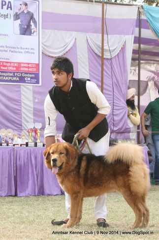 sw-135,tibetan mastiff,tm,, Amritsar Kennel Club, DogSpot.in