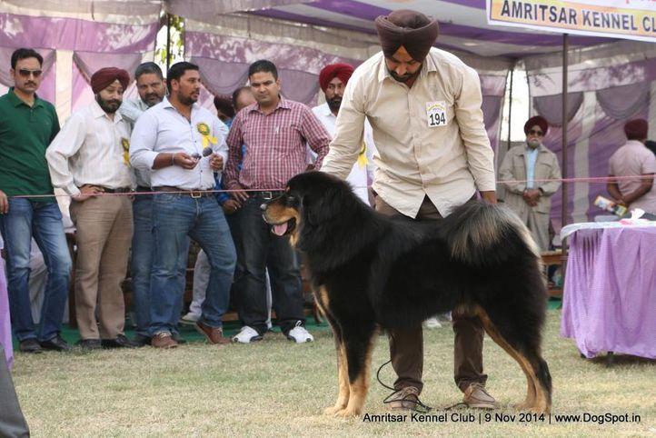 ex-194,sw-135,tibetan mastiff,tm,, AMRAJ QUINN, Tibetan Mastiff, DogSpot.in