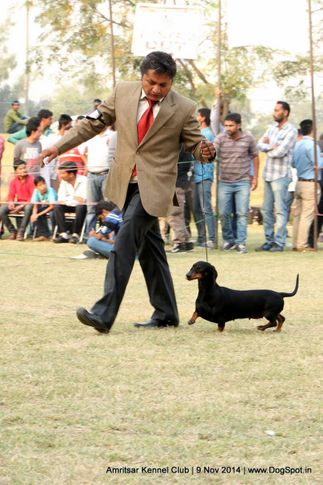 dachshund miniature- smooth haired,ex-60,sw-135,, RAGVI'S GET CRAZY, Dachshund Standard- Smooth Haired, DogSpot.in