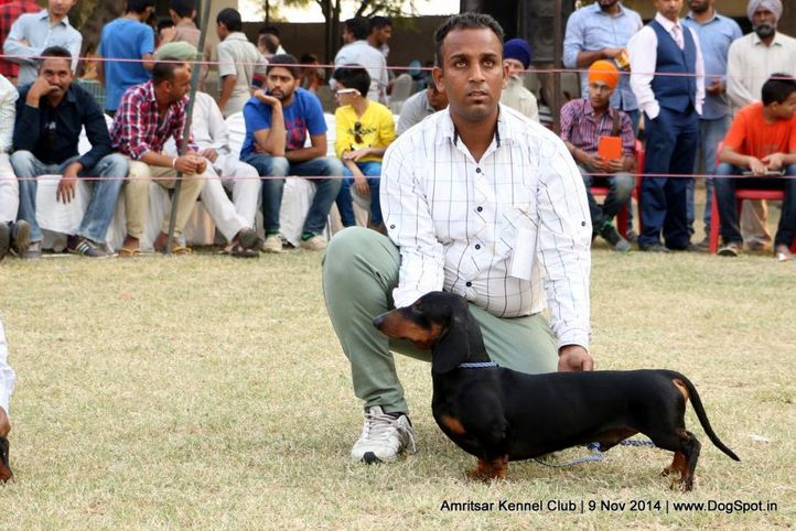 dachshund miniature- smooth haired,sw-135,, Amritsar Kennel Club, DogSpot.in