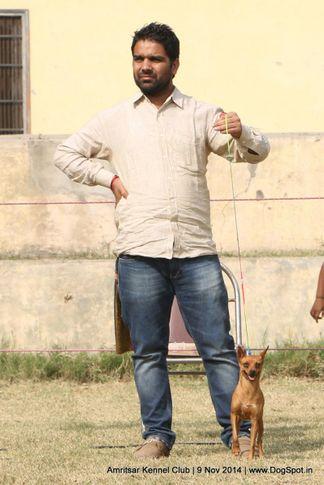 min-pin,miniature pinscher,sw-135,, Amritsar Kennel Club, DogSpot.in