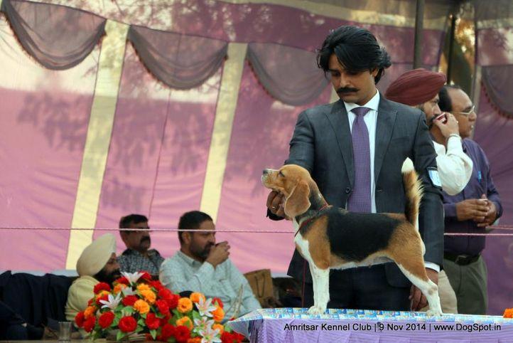 beagle,sw-135,, Amritsar Kennel Club, DogSpot.in