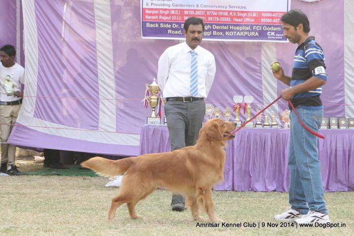 golden retriever,sw-135,, Amritsar Kennel Club, DogSpot.in