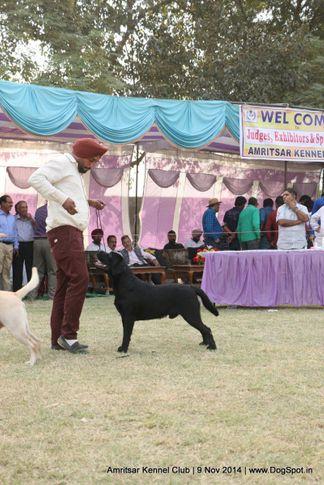 lab,labrador retriever,sw-135,, Amritsar Kennel Club, DogSpot.in