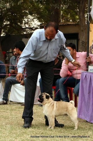 pug,sw-135,, Amritsar Kennel Club, DogSpot.in