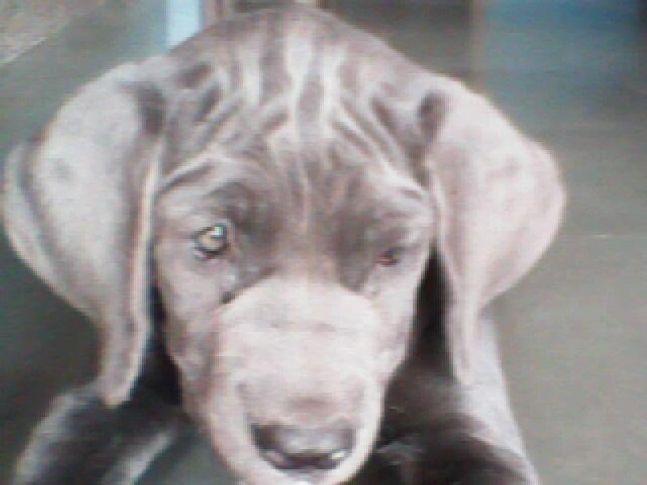 anny mastiff female, {ANNY} MASTIFF FEMALE, DogSpot.in