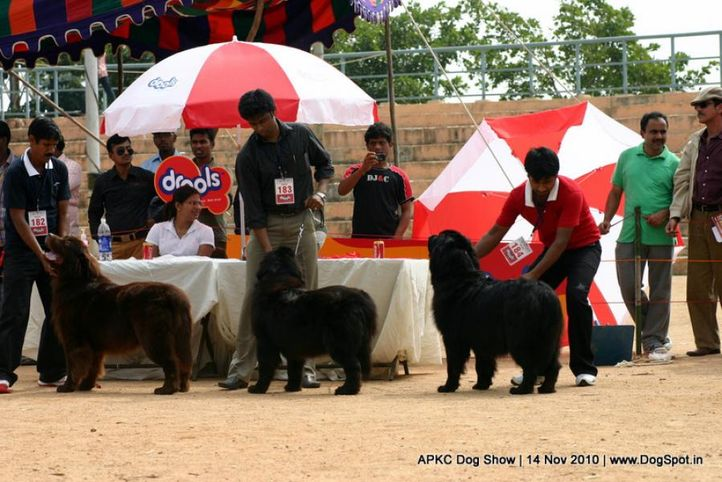newfoundland,, APKC Hyderabad, DogSpot.in