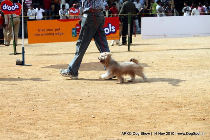 lhasa,, APKC Hyderabad, DogSpot.in
