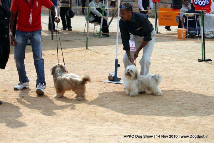 sw-11,ex-117,lhasa,, KAYARAA'S DELILAH, Lhasa Apso, DogSpot.in