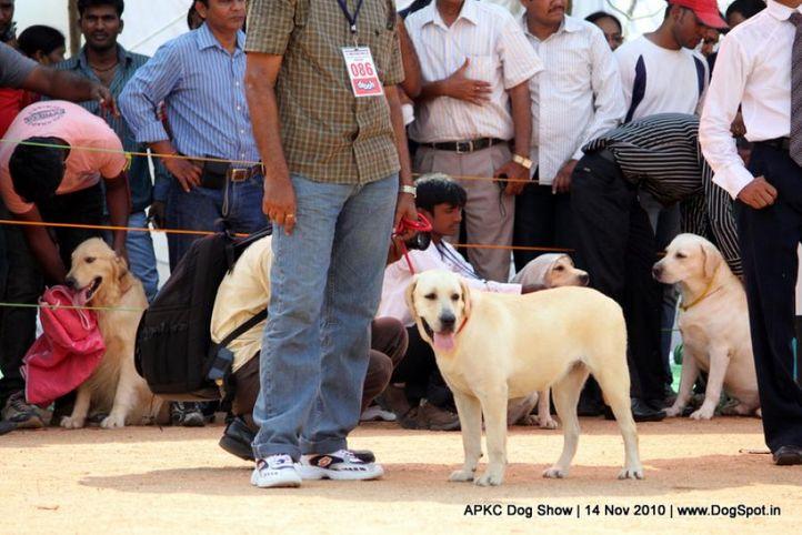 sw-11,ex-86,labrador,, SHVANONE'S TOO GOOD TO BE TRUE, Labrador Retriever, DogSpot.in