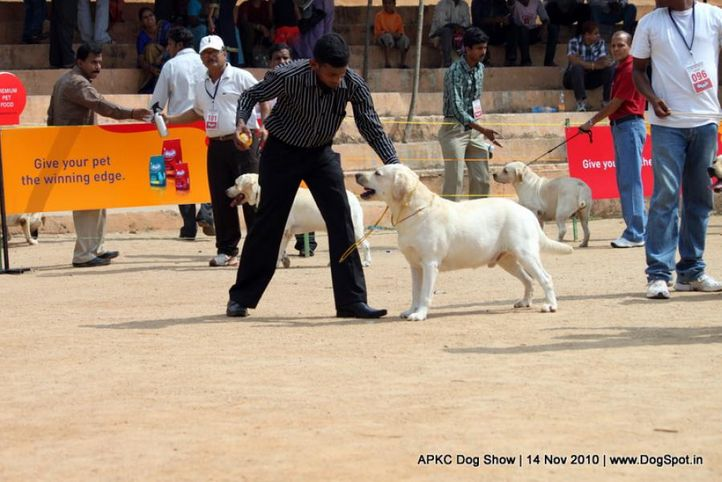 sw-11,ex-84,labrador,, SONU'S LORENZO, Labrador Retriever, DogSpot.in