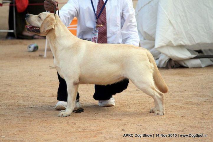 sw-11,ex-92,labrador,, Lohar's Elia, Labrador Retriever, DogSpot.in