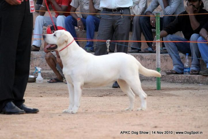 sw-11,ex-99,labrador,, VICTORIA, Labrador Retriever, DogSpot.in