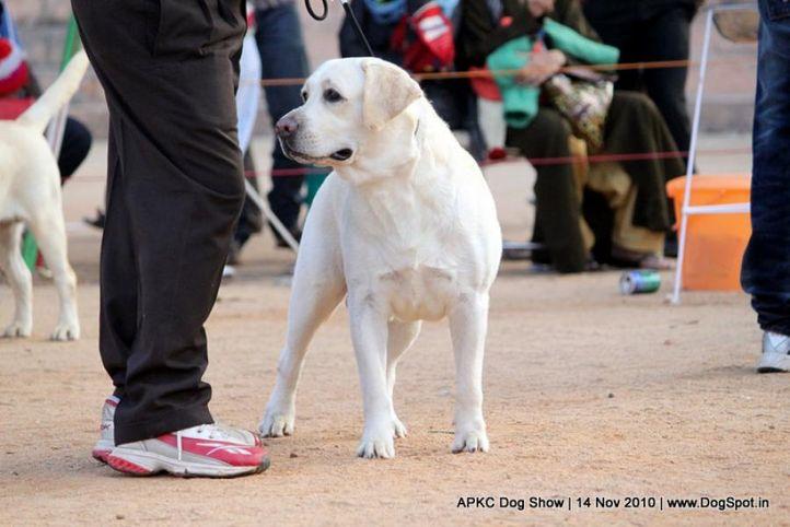 sw-11,ex-101,labrador,, JATIN'S UZI, Labrador Retriever, DogSpot.in