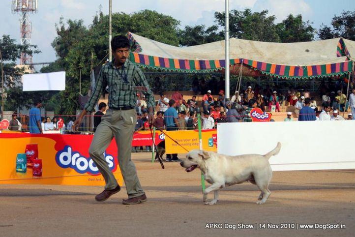labrador,, APKC Hyderabad, DogSpot.in