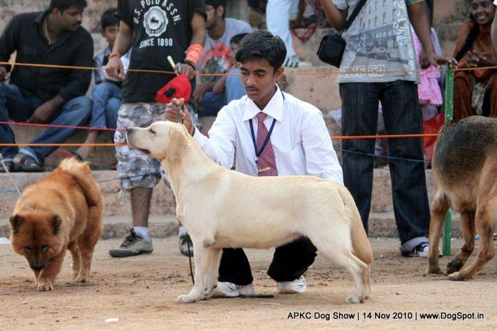 child,labrador,, APKC Hyderabad, DogSpot.in