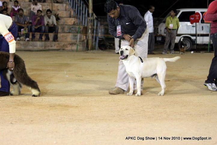 sw-11,ex-71,labrador,, MANGO'S FRANKY THE JUNIOR, Labrador Retriever, DogSpot.in