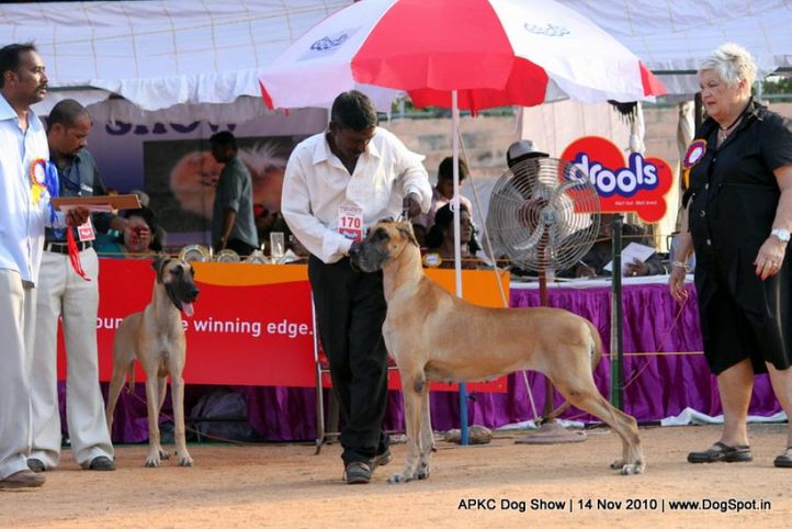 sw-11,ex-170,greatdane,, PAQUIN'S SWEET MOMENT, Great Dane, DogSpot.in