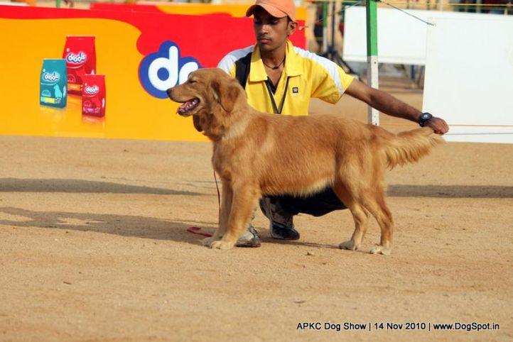 golden,, APKC Hyderabad, DogSpot.in