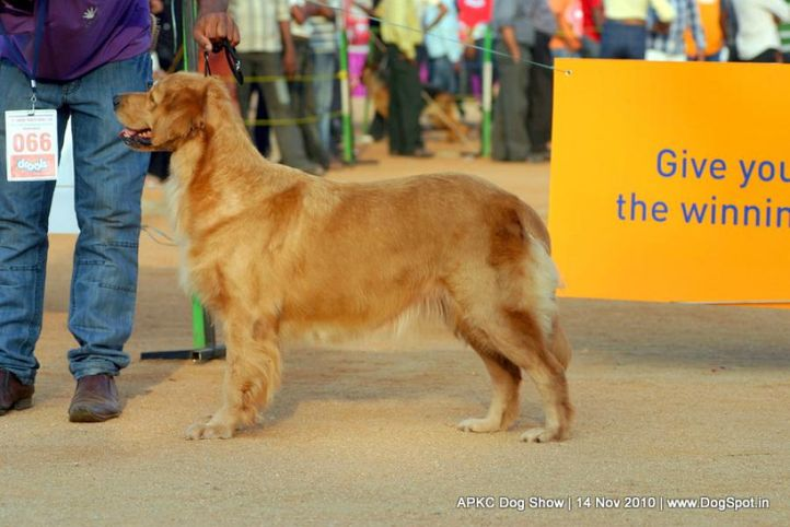 sw-11,ex-66,golden,, CHESLLSEA OF DOG MATIX, Golden Retriever, DogSpot.in