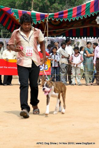 boxer,sw-11,ex-121,, JOHNY KEEP WALKING, Boxer, DogSpot.in