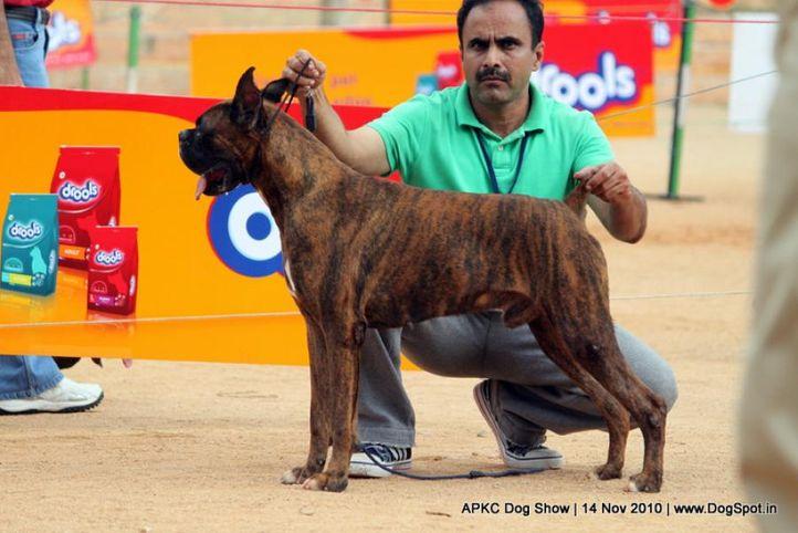 boxer,sw-11,ex-127,, ARYANOUSH'S MORDERN, Boxer, DogSpot.in