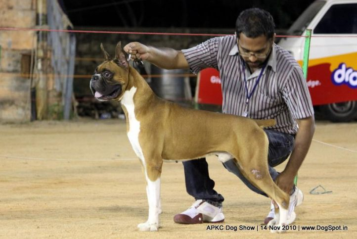 boxer,sw-11,ex-128,, Candy Kiss the Chess Master, Boxer, DogSpot.in