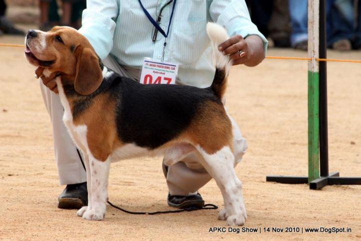 beagle,sw-11,ex-47,, AM. IND CH. CHARDON LIGHTENING BOLT, Beagle, DogSpot.in