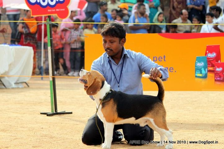 beagle,, APKC Hyderabad, DogSpot.in