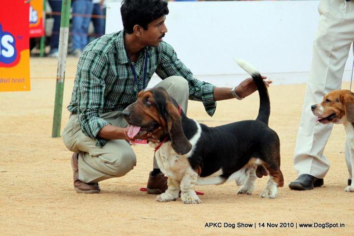 basset,, APKC Hyderabad, DogSpot.in