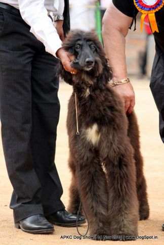 afghan,sw-11,ex-38,, JUST AN ATTRACTION VON AGRANI, Afghan Hound, DogSpot.in