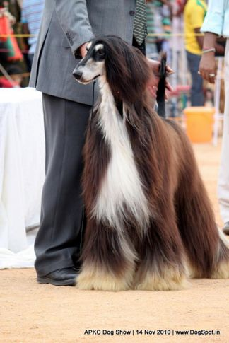 afghan,sw-11,ex-41,, IN. CH AUST. CH. SATANG TOPHAT NTAILS, Afghan Hound, DogSpot.in
