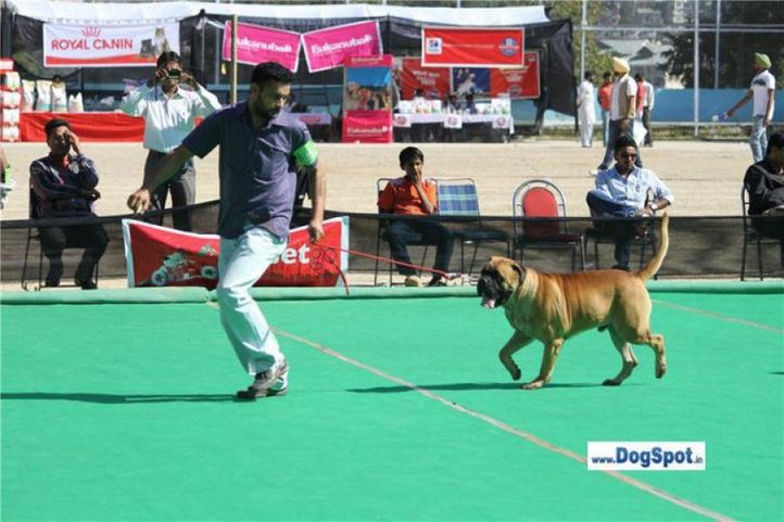 , BAINS BULL KENNEL,...........  BULLMASTIFF................., DogSpot.in