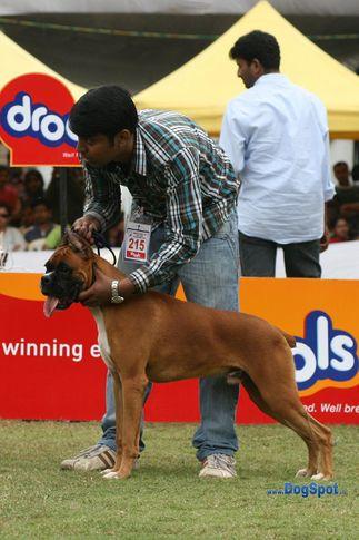 boxer,ex-215,sw-12,, ZAMBO, Boxer, DogSpot.in