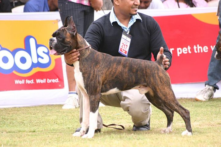 boxer,ex-217,sw-12,, EASTWOODS THIS IS IT, Boxer, DogSpot.in