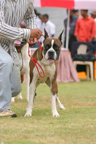 boxer,ex-228,sw-12,, BHEEM, Boxer, DogSpot.in