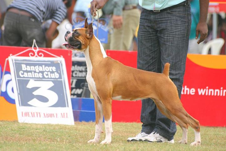 boxer,ex-229,sw-12, SILVERSTONES JUST A RUMOUR, Boxer, DogSpot.in