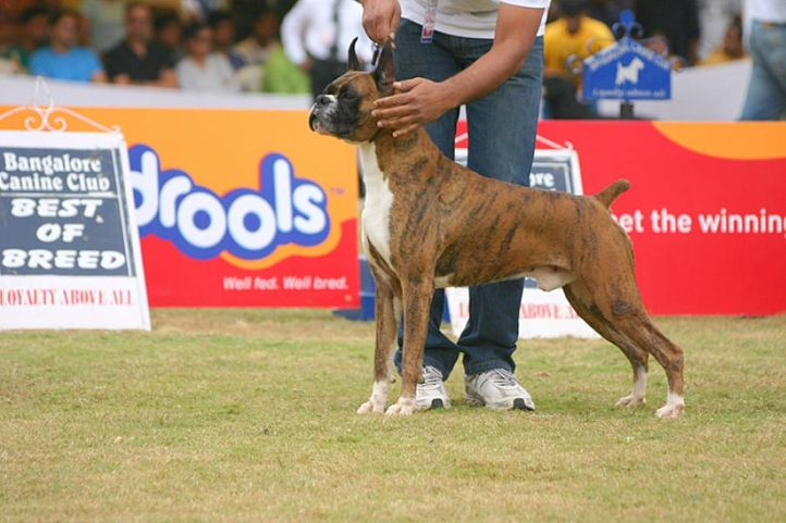 boxer,ex-242,sw-12, IND. KOR. CH. ORANGE BOXER N CONQUEST'S FIRST, Boxer, DogSpot.in
