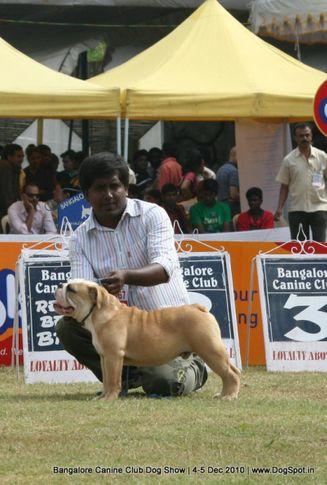 bull dog,sw-12,, Bangalore 2010, DogSpot.in
