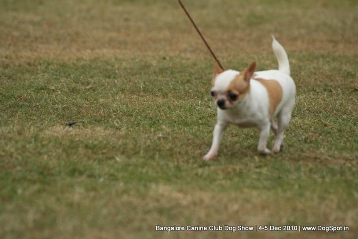 chihuahua,ex-1,sw-12,, WALKING IN THE NIGHT, Chihuahua (Smooth Coat), DogSpot.in
