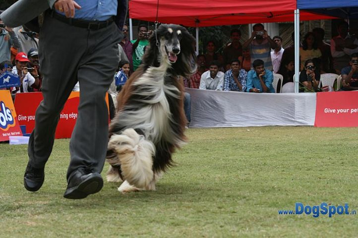 afghan,ex-85,sw-12,, IN. CH AUST. CH. SATANG TOPHAT NTAILS, Afghan Hound, DogSpot.in