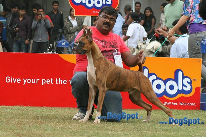 boxer,sw-12,, Bangalore 2010, DogSpot.in